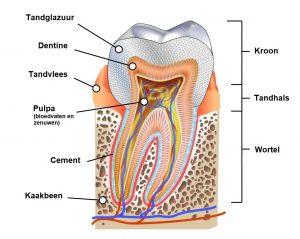 Illustratie van een doorsnede van een tand